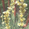 Sisyrinchium striatum 'Aunt May'