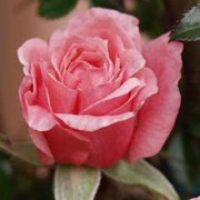 'Pink Above All' is a minature climbing rose.  It forms small, glossy, dark green leaves and fragrant, satin pink double flowers from late spring until autumn.  Rosa 'Pink Above All' added by Shoot)