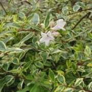 'Hopleys' is a semi-evergreen shrub with golden variegation and soft pale pink flowers in late summer. Abelia x grandiflora 'Hopleys'  added by Shoot)