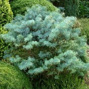 'Compacta' is a slow-growing, dwarf, evergreen conifer with an irregular, spreading habit.  It has slender blue-grey needles. Abies concolor 'Compacta' added by Shoot)