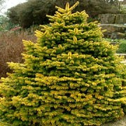 'Golden Spreader' is a small, slow-growing, evergreen conifer with a spreading, bushy habit.  Its foliage is bright golden-yellow, particularly in winter. Abies nordmanniana 'Golden Spreader' added by Shoot)