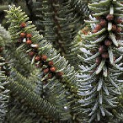 'Glauca' is an evergreen mid-sized, slow-growing coniferous tree with blunt grey-green needles arranged all round the shoot.  It bears pale-green, brown or purple young cones which ripen to brown. Abies pinsapo 'Glauca' added by Shoot)