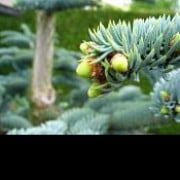 Abies procera added by Shoot)