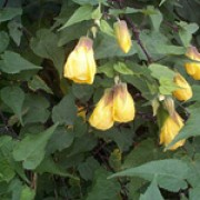 'Canary Bird' is a large evergreen shrub, with nodding, bell-shaped yellow flowers.