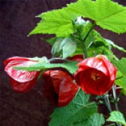 'Nabob' is an erect, evergreen shrub with large, mid-green leaves.  In summer and autumn it bears nodding, deep-crimson, bowl-shaped flowers. Abutilon 'Nabob' added by Shoot)