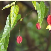 Abutilon megapotamicum added by Shoot)