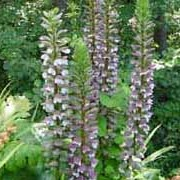 Acanthus mollis added by Shoot)