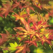 'Sango-kaku' has palm shaped orange-yellow leaves in spring, turning rich green in summer, turing yellow again in autumn.  It has distinctive coral-red shoots and bark for all year interest. Acer palmatum 'Sango-kaku' added by Shoot)
