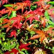 'Shin deshojo' is a large shrub or small tree forming thin branches bearing divided scarlet leaves, turning pink and green. Acer palmatum 'Shin deshojo' added by Shoot)