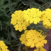 'Coronation Gold' has leathery, grey-green leaves and large, flat heads of small golden-yellow flowers. Achillea 'Coronation Gold' added by Shoot)