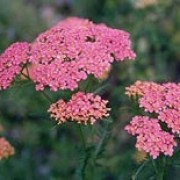 'Lachsschönheit' has dissected leaves and flat heads of salmon-orange flowers fading to pink, creamy-white. Achillea 'Lachsschönheit' added by Shoot)