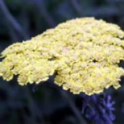'Moonshine' has feathery grey-green foliage and flat heads of small, light yellow flowers. Achillea 'Moonshine' added by Shoot)