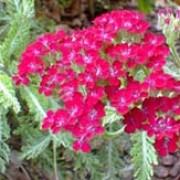 'Summerwine' has divided, dark green leaves and crimson flat head flowers, fading to buff-pink. Achillea 'Summerwine' added by Shoot)