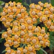 'Terracotta' has beautiful flat blooms which open light orange fading to creamy-yellow Achillea 'Terracotta' added by Shoot)