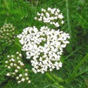 Achillea millefolium added by Shoot)