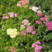 'Summer Pastels' has finely-cut foliage and flat flower heads in a mixture of pink, white, yellow and purple flowers. Achillea millefolium 'Summer Pastels' added by Shoot)