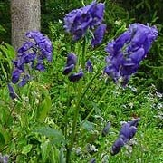 'Barker's Variety' is a large plant suitable for the back of the border with long racemes of large deep violet-blue flowers. Aconitum carmichaelii 'Barker's Variety' added by Shoot)