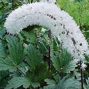 'White Pearl' has long arching flower spikes, and green stems and leaves. The stems have a few lateral branches.  Actaea 'White Pearl' added by Shoot)