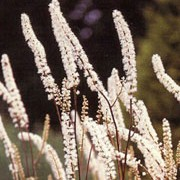 The Atropurpurea Group have purple to bronze tinted foliage and small, creamy white, strongly-fragrant flowers in fluffy spires on upright, wiry stems.  Actaea simplex (Atropurpurea Group) added by Shoot)