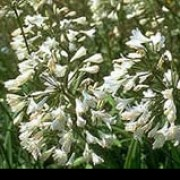 'Bressingham White' is a perennial with umbels of funnel-shaped white flowers. Agapanthus 'Bressingham White' added by Shoot)