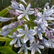 Agapanthus africanus added by Shoot)