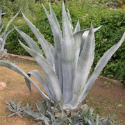 Agave americana added by Shoot)