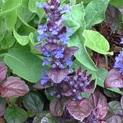 Ajuga reptans added by Shoot)
