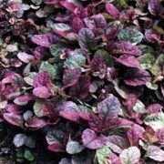 'Burgundy Glow' is a creeper with evergreen leaves, grey-green flushed wine-red, and spikes of deep blue flowers. Ajuga reptans 'Burgundy Glow' added by Shoot)