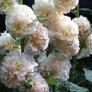 'Peaches 'n' Dreams' has long flower spikes with several fully double blooms of peachy-cream, tinged raspberry-pink.  Alcea 'Peaches 'n' Dreams' added by Shoot)