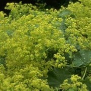 Alchemilla Mollis added by Shoot)