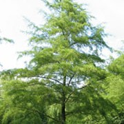 'Imperialis' is an attractive slender tree with mid-green leaves Alnus glutinosa 'Imperialis' added by Shoot)