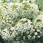 'Sweet White' is a compact, mat-forming annual with white, honey-scented flowers in summer. Alyssum maritima procumbens 'Sweet White' added by Shoot)