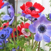 Anemone coronaria added by Shoot)