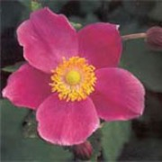 'Hadspen Abundance' is a tuberous, perennial with green  leaves.  It bears solitary flowers in rich, deep, purplish-pink with five sepals. Anemone hupehensis 'Hadspen Abundance' added by Shoot)