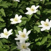 Anemone nemorosa added by Shoot)