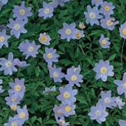 Image result for anemone nemorosa robinsoniana