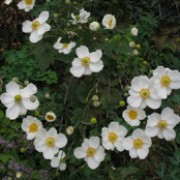 'Andrea Atkinson' forms clumps of large, dark, divided, vine-line leaves and pure white flowers with contrasting orange-yellow stamens. Anemone x hybrida 'Andrea Atkinson' added by Shoot)