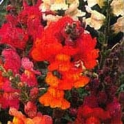 'Illumination Mix' is a half-hardy annual with bright mixed flowers in red, orange and pink in summer. Antirrhinum 'Illumination Mix' added by Shoot)