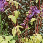 'Purple Emperor' is an upright herbaceous perennial with  golden foliage and purple flowers in spring and summer. Aquilegia vulgaris 'Purple Emperor' added by Shoot)