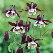 'William Guiness' is an upright herbaceous perennial with striking white and deep-purple flowers in spring and summer. Aquilegia vulgaris 'William Guiness' added by Shoot)