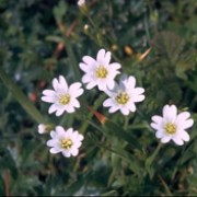 Arenaria montana added by Shoot)