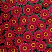 'Madeira Series' Santana is a neat and compact perennial, often grown as an annual, with rich red flowers with yellow centres througout summer. Argyranthemum 'Madeira Series' Santana added by Shoot)