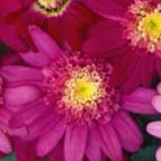 'Vancouver' is a double pink variety with anemone centres. Argyranthemum 'Vancouver' added by Shoot)