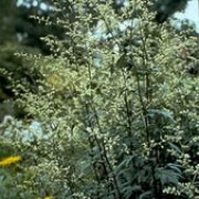 Artemisia lactiflora added by Shoot)