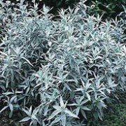 'Silver Queen' is an herbaceous perennial with greyish-white leaves and, occasionally plumes of small, insignificant yellowish flowers in late summer to early autumn. Artemisia ludoviciana 'Silver Queen' added by Shoot)