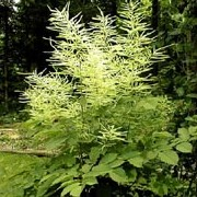 Aruncus dioicus added by Shoot)