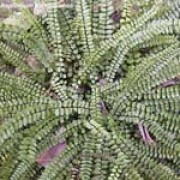Asplenium trichomanes added by Shoot)