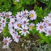 Aster alpinus added by Shoot)
