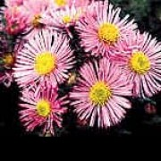 'Harrington's Pink' is a fast-growing perennial with bright green foliage and clusters of clear pink flowers. Aster novae-angliae 'Harrington's Pink' added by Shoot)