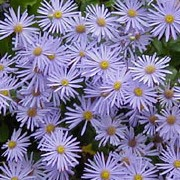'Mönch' has excellent qualities and is sometimes recommended as the best of all daisies.  It is a bushy herbaceous perennial with rough, dark foliage and yellow-centred, lavender-blue daisies that flower continuously fromlate summer to early autumn. Aster x frikartii 'Mönch' added by Shoot)